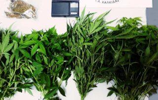 Συνελήφθη ένα άτομο στην Ιστιαία για καλλιέργεια, κατοχή & διακίνηση ναρκωτικών